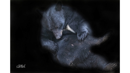 American Black Bear grooming