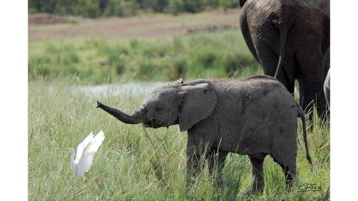 Baby Ele & Egret