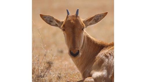 Baby Hartebeest