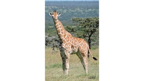 Baby Reticulated Giraffe standing