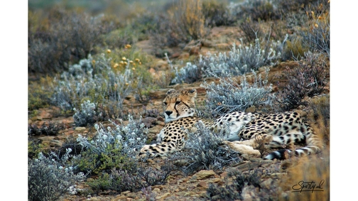 Cheetah in Sanbona