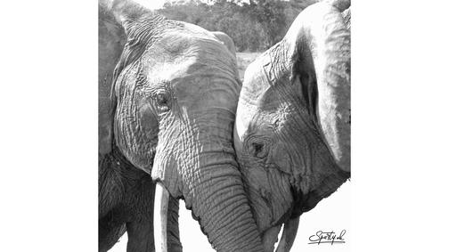 Elephant Love2
