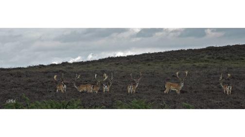 Fallow Bucks in the heather