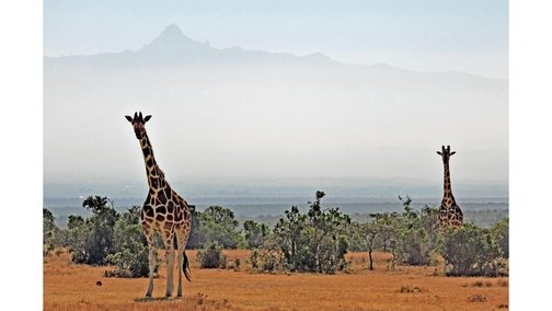 Giraffe at Mount Kenya