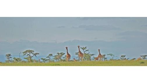 Giraffe at Ol Pejeta