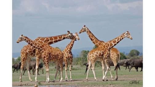 Giraffes at Ol Pejeta