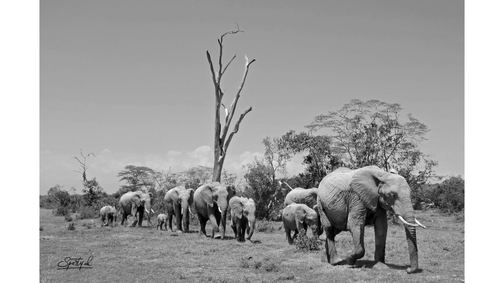 Herd at Ol Pejeta