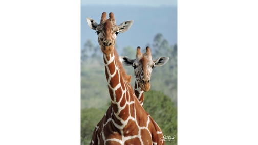 Pair of Reticulated Giraffe