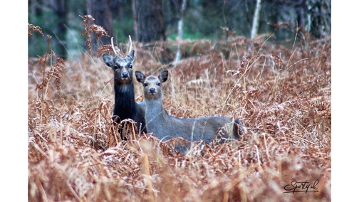 Pair of Roe Deer