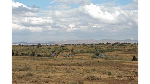 Zebra at Mpala2