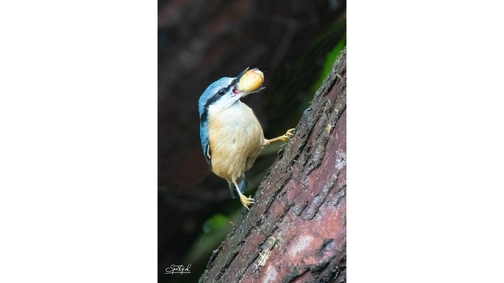 Ambitious Nuthatch