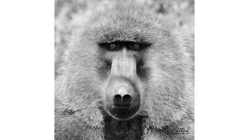 Baboon Stare
