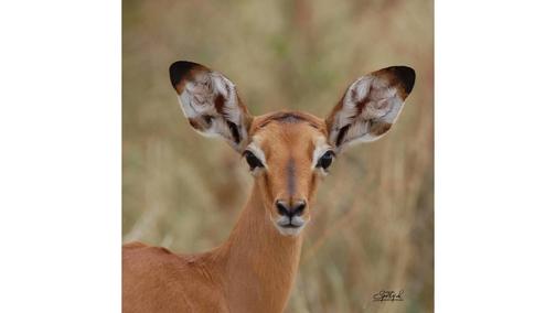 Baby Impala2