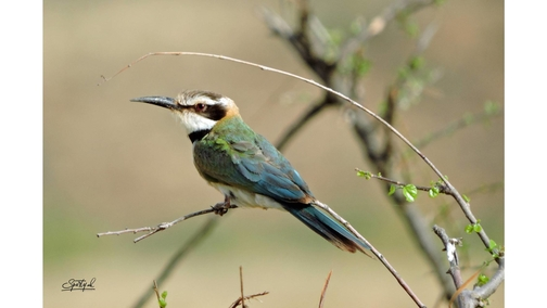Bee-eater 2