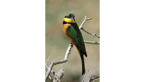 Bee-eater 3