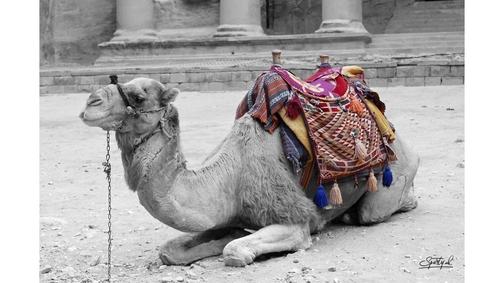 Camel at the Treasury