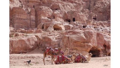 Camels at Petra 1