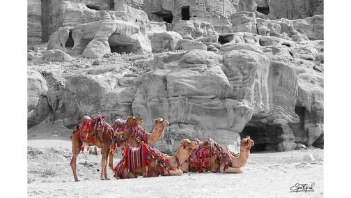 Camels at Petra 2