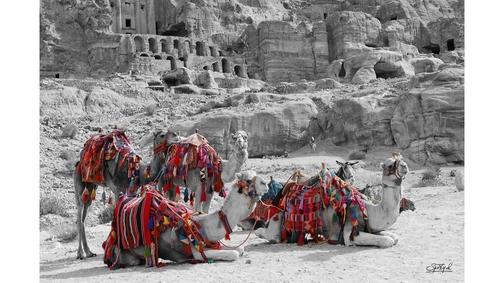 Camels at Petra 3