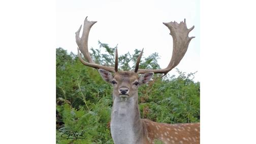 Fallow Buck Godshill
