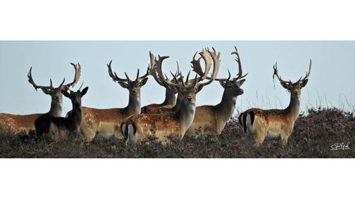 Fallow Bucks