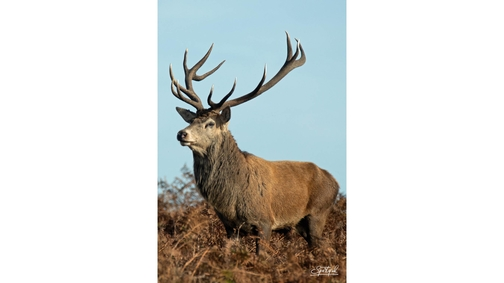 Red Stag1