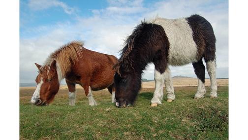 Exmoor Shetlands