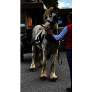 14.1hh Quality ride/drive ref (814367)