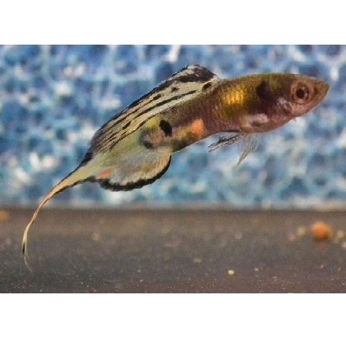 Needle / Pin tail   multicoloured guppy