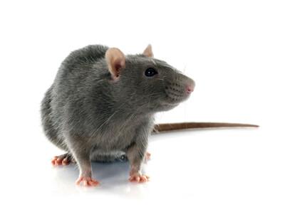 Rat-control-Enfield