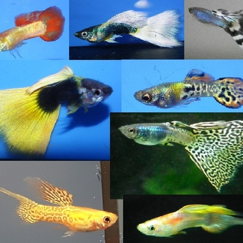 Selection of 4 male guppies