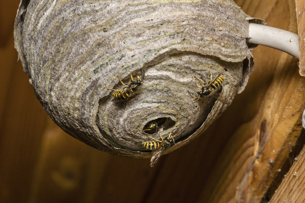 Wasps Nest Removal.