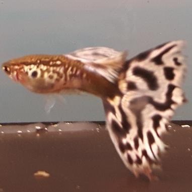 Delta tail, snakeskin mosaic guppies