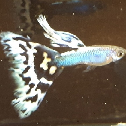 Singa blue Mosaic Delta tail guppy