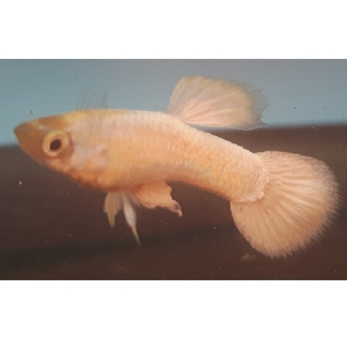 Snow white guppy