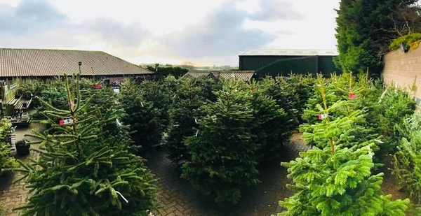 Real Christmas Trees At Windlebridge Guisborough