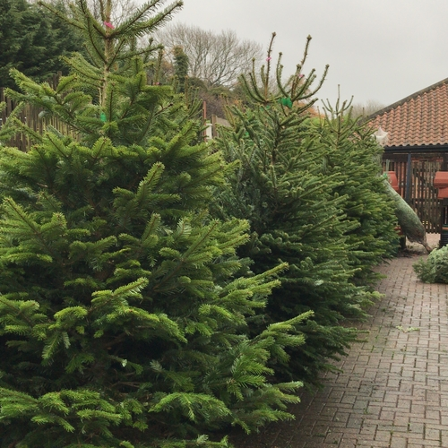 Real Christmas Trees PRE-ORDER