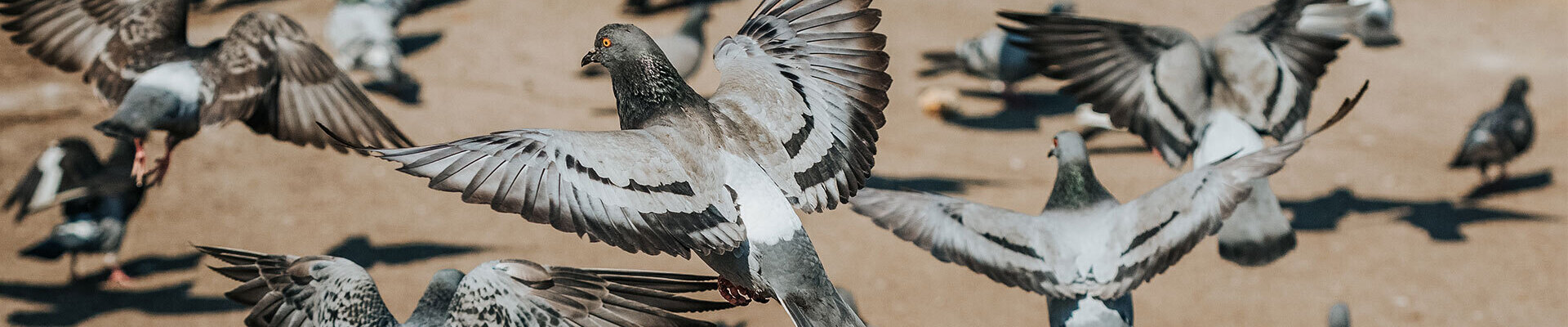 Pigeon control in Reading and throughout Berkshire
