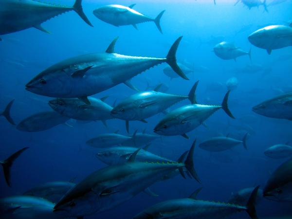 Diary of a Tuna Fish June 2021