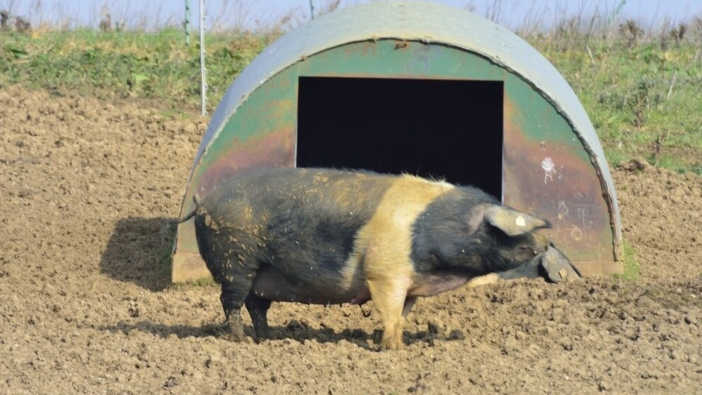 Pig Shelters