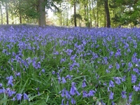 Local bluebells