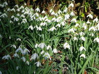 Snowdrops, Lyme Tree House drive