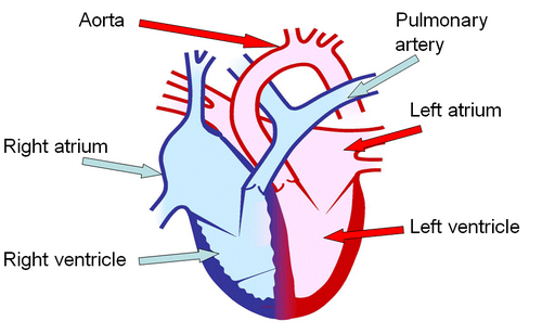 How the Heart Works | Little Big Heart Trust