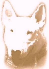 photo of a bull terrier
