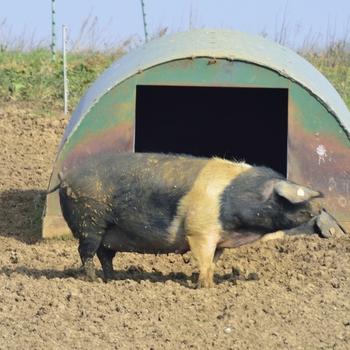 Pig Arks