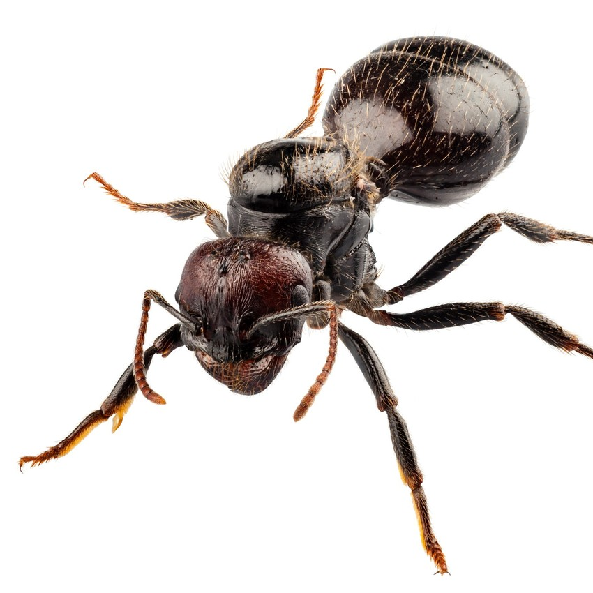 Black-ant-pest