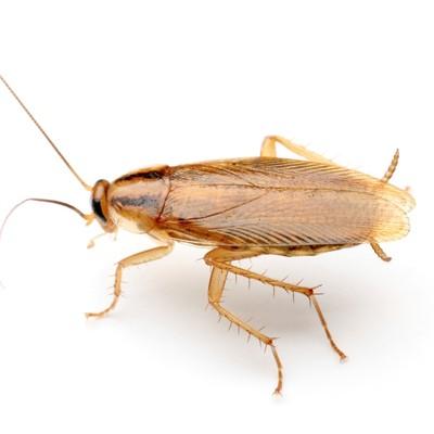 Cockroach-Pest