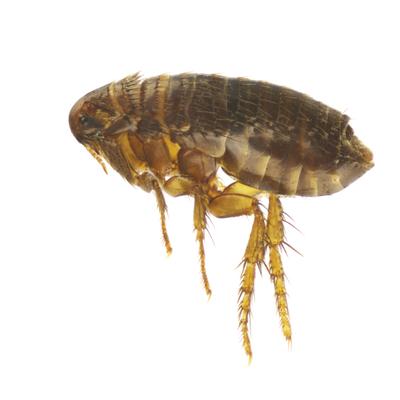 Flea-pest