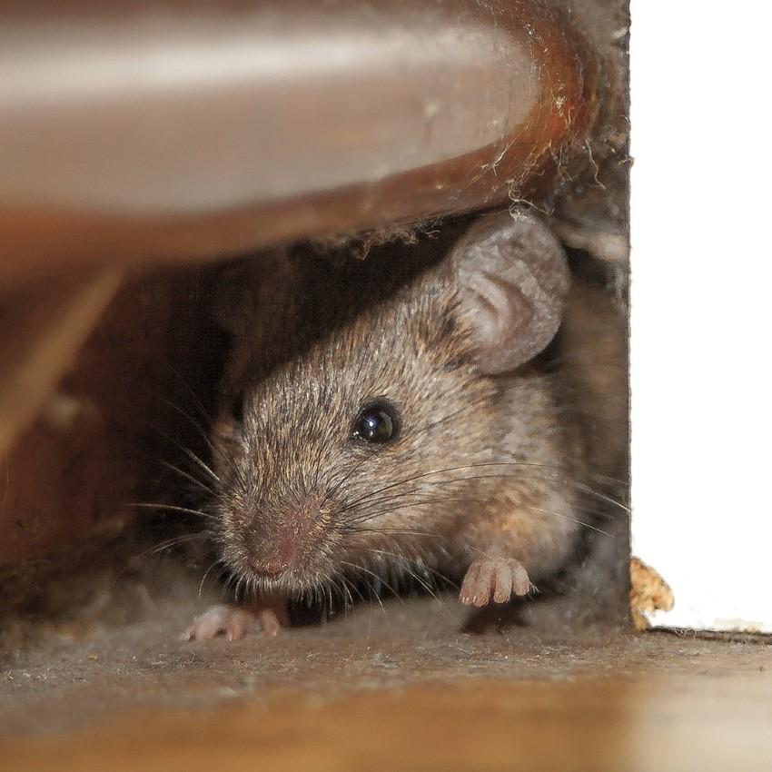 Mouse-pest