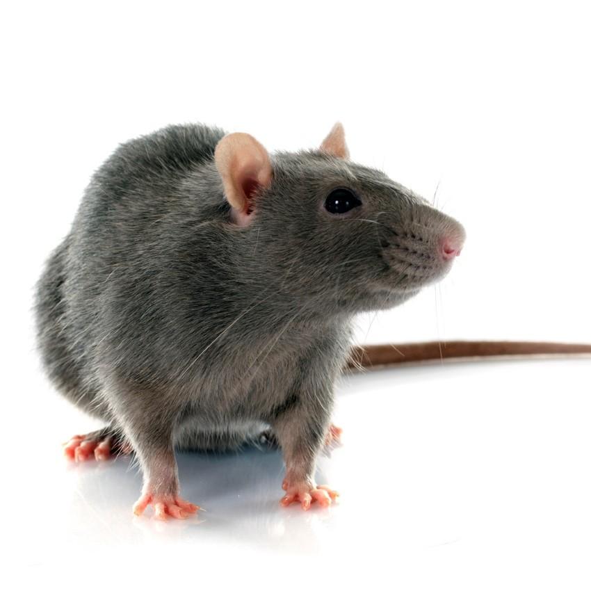 Rat-pest